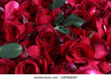 Closeup of red roses and green leaves.