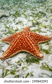 close-up of red sea star or starfish resting on white sand of ocean floor in Caribbean Sea
