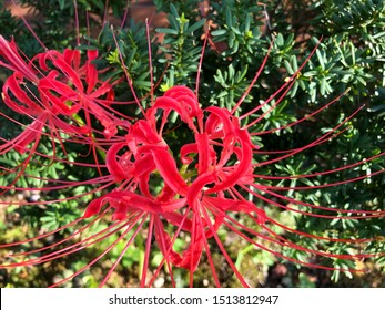 Closeup of Red Spider lily with green leaves background. This flower is also known in others names as Red magic lily, Hurricane lily, Equinox flower and Resurrection flower.
