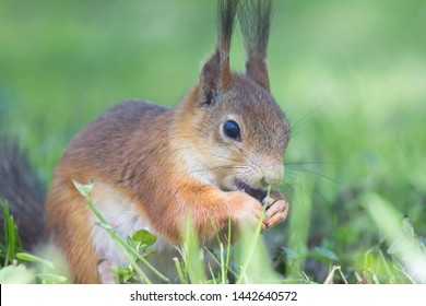 Close-up of a red squirrel eating a nut. Cute animals rodents. Fluffy squirrel in a city park on the grass. Cute squirrels are in their natural habitat on a warm summer day.
