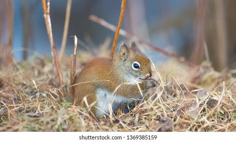 Closeup red squirrel portrait on ground in twigs and grasses in the Sax-Zim Bog in the winter