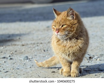 Close-up of a red street cat