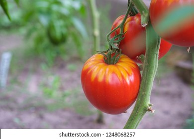Closeup of red tomatoes growing in greenhouse. Organic farming.