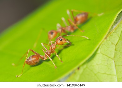Close-up a red Weaver ant (Oecophylla smaragdina) or Green Ant major worker resting on green leaf with nature blurred background.