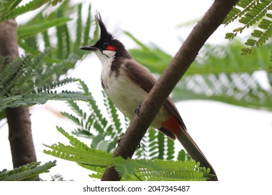Closeup  of red whiskered bulbul bird
