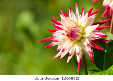Close-up of a Red and White Colored Cactus Dahlia Sorbet (Asteraceae) Flower in the Morning Light.