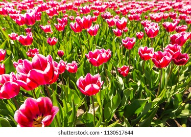 Closeup of red and white flamed tulips in a Dutch tulips field flowerbed under a blue sky during Spring season in Drenthe, the Netherlands