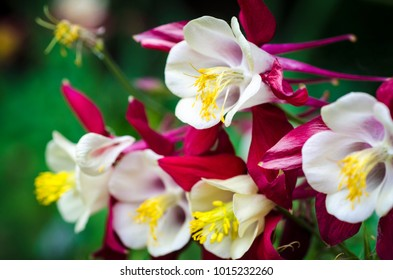 Close-up of red, white and yellow columbine flowers