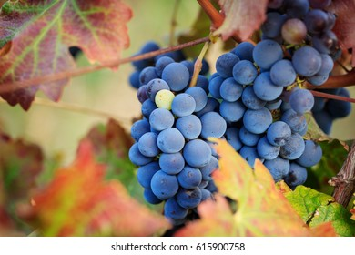 Close-up of red wine grapes among autumn vine leaves