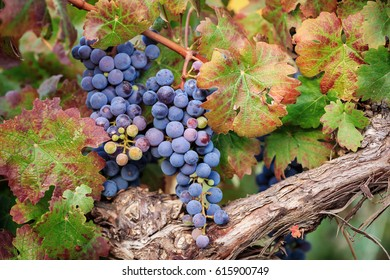 Close-up of red wine grapes on autumn vine