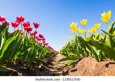 Closeup of red and yellow tulips in a Dutch tulips field flowerbed under a blue sky during Spring season in Drenthe, the Netherlands