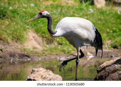 Closeup of a red-crowned crane (Grus japonensis) alias Manchurian crane or Japanese crane bird foraging in water and a grass meadow on  sunny day.