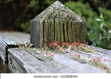 A closeup of reddish moss growing on the cracked boards of the banister of an old deck.