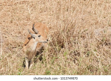 "Closeup of Reedbuck (scientific name: Redunca redunca, or ""Tohe ndope"" in Swaheli) in the Tarangire National park, Tanzania"