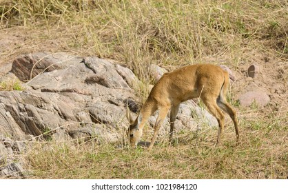 "Closeup of Reedbuck (scientific name: Redunca redunca, or ""Tohe ndope"" in Swaheli) in the Lake Manyara National park, Tanzania"