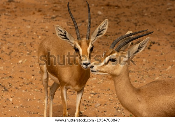 closeup-reem-gazelle-dorcas-600w-1934708