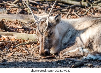 Close-up of reindeer lying on the soil