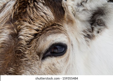 Close-up of a reindeer (Rangifer tarandus) in the snow in Swedish lapland.