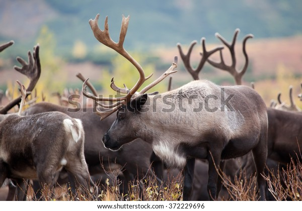 close-up reindeer(caribou) in autumn tundra