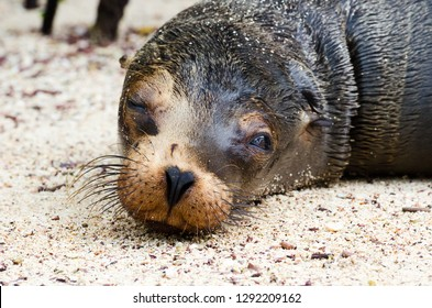 A closeup of a relaxing sealion on the beach in the Galapagos