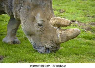 Close-up of a Rhino eating grass in a green field