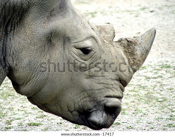 Closeup of a rhino head