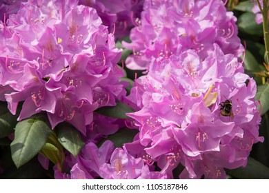 Closeup of rhododendron flowers with a bumblebee