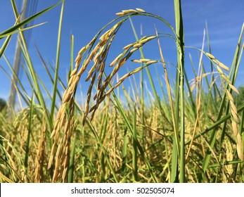 Close-up rice farm under blue sky