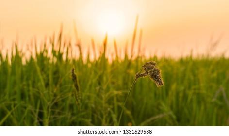 Closeup Rice Field Sunset .