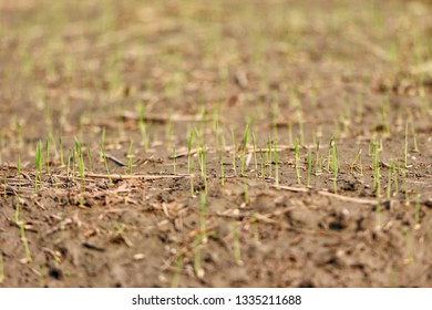 Closeup rice sprout on soil in rice field.