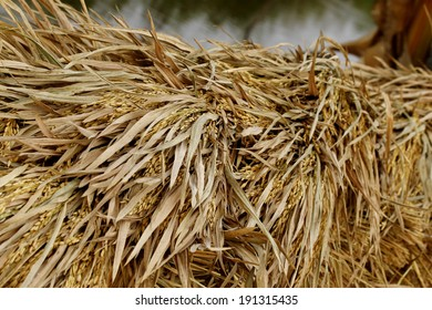 close-up of rice straw and rice grain in rice field.