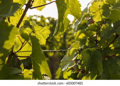 Close-Up Of A Riesling Vine In The German Rheingau Wine Region