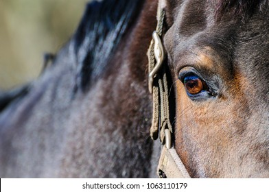 Close-up of right side of a dark brown horse`s head with right eye and harness.