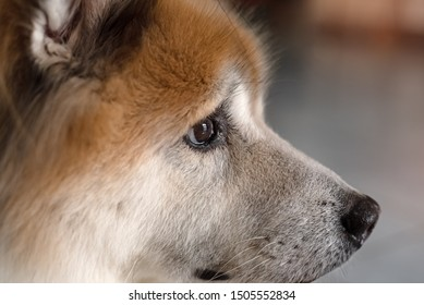 Closeup right side of dog face,brown eye and big nose,looking straight something,blurry light around