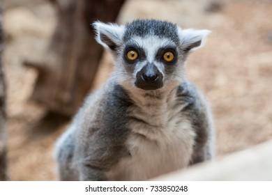 Closeup of a ring tailed captive lemur