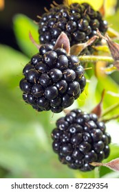 Close-up of ripe blackberries bunch