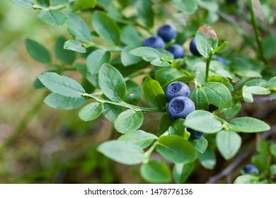 Close-up of ripe blue common bilberry (vaccinium myrtillus). Season: Summer 2019. Location: Western Siberian taiga.