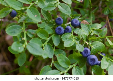Close-up of ripe common bilberries (vaccinium myrtillus). Season: Summer 2019. Location: Western Siberian taiga.