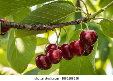 closeup of ripe dark red cherries hanging on cherry tree branch with blurred background