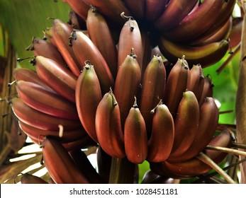 Closeup of ripe fruits of red banana plant (Musa acuminata).