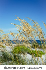 CLoseup of ripe golden sea oats blowing in the summer breeze against a backdrop of white beach and Gulf of Mexico