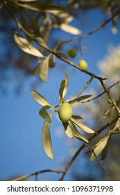 Close-up of ripe green olives on tree in Mallorca, Spain