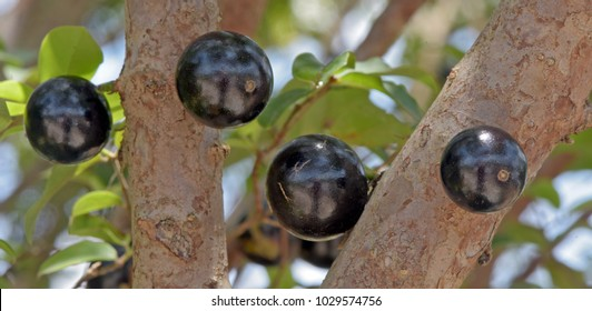 Closeup of ripe jabuticaba in the tree, endemic fruit of Brazil, much appreciatedby sweetness