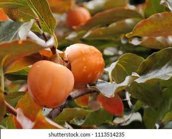 A close-up of Ripe Japanese persimmon Fruits on a tree after autumn rain Diospyros kakiis commonly calledJapanese,Chinese persimmon,kaki,kakipersimmon, andOriental persimmon.