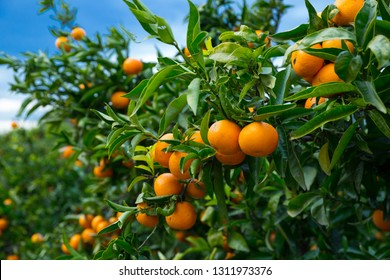 Closeup of ripe juicy mandarin oranges in greenery on tree branches