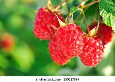 close-up of the ripe raspberry in the fruit garden