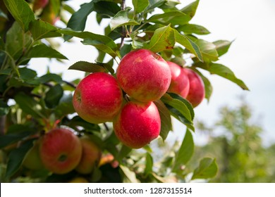 closeup of ripe red elstar apples in a dutch orchard