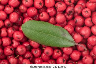 Closeup ripe red Heteromeles arbutifolia toyon fruit with single green leaf on top