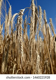 closeup of ripe rye against blue sky