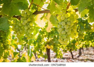 closeup of ripe Sauvignon Blanc grapes hanging on vine in vineyard at harvest time
